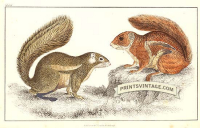 Fire-footed Squirrel and Hottentot Squirrel