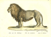 Lion of Barbary - Felis leo barbaricus