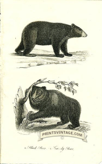 Black Bear and Grizzly Bear - North America