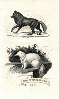 Black Wolf and Arctic Fox - North America