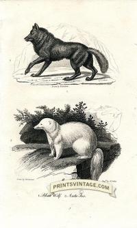 Black Wolf and Arctic Fox - North America