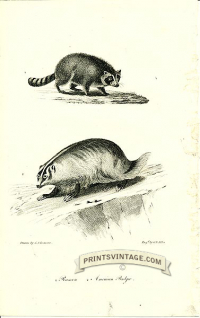 Raccoon and American Badger - North America