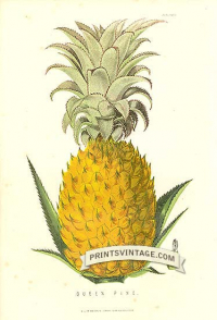 Queen Pineapple - Queen Pine