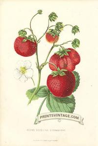 Strawberries - Keen's Seedling Strawberries