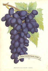 Purple Grapes - Madresfield Court Grape