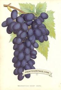 Purple Grapes - Madresfield Court Grape