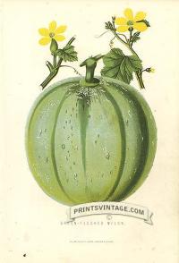 Melon - Green-fleshed Melon