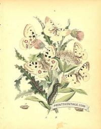 Butterflies - Papilonidae, Pieridae - Apollo, Veined and Mountai