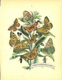 Butterflies by Cassell