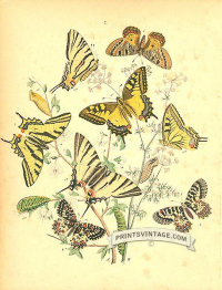Butterflies - Papilonidae - Swallow Tailed, Festooned and Apollo