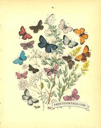 Butterflies - Lycaenidae - Hair Streak and Copper