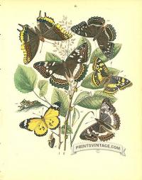 Butterflies Nymphalidae - Danaidae - Purple Emperor