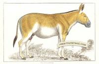 Dziggtai - Wild horse of Tibet