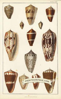 Cone Shells - Tait's, Diviner's, Fumigated, Plated, Punctured, G