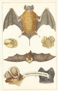 Cayenne Bat, North-eared Bat, Slender Bat and Rufous Bat