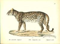 Leopard (male) - Felis leopardus