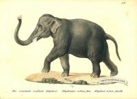 Indian Elephant (male) - Elephas indicus(II)