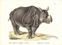Asian Rhinoceros - Rhinoceros unicornis