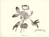 American Humming Birds