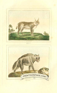 Lynx and Hyaena