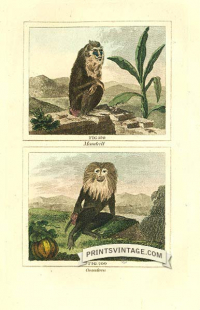 Mandrill and Ouanderou (Colobus monkey) - South America