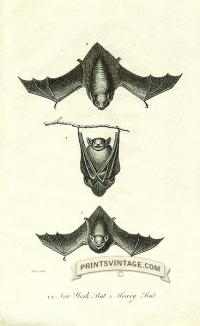 New York bat and Hoary Bat - North America