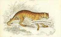 The Javanese Cat