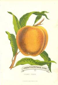 Peach - Salway Peach