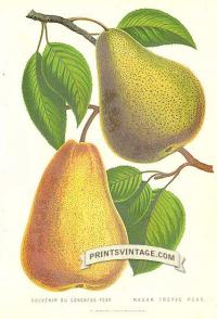 Pears - Souvenir du Congress Pear and Madame Treyve Pear