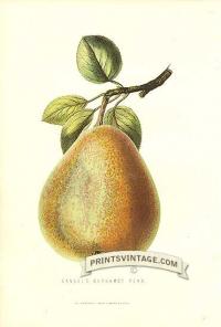 Pears - Gansel's Bergamot Pear